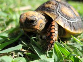 Baby Turtle -- Dot by belladarla