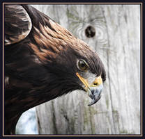 Eagle Eye by AuTuMn-Lee
