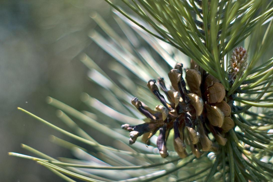 Pine by Ennev