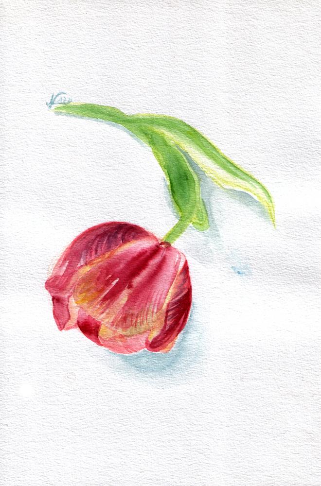 Tulip II by evionn