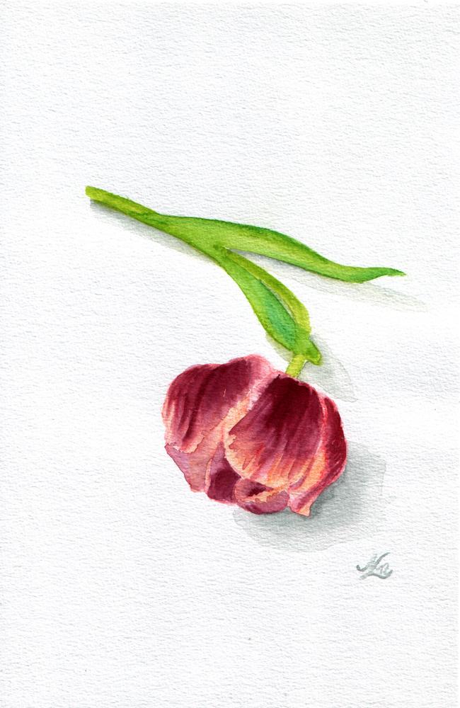 Tulip III by evionn