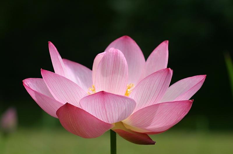 lotus flower by philichino