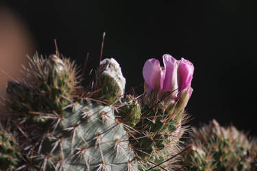 Cactus flower by MelissaBrokenhearted