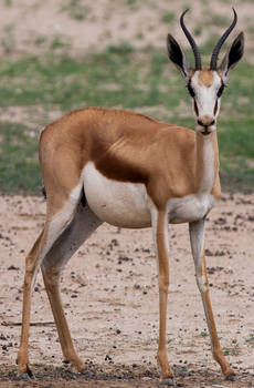 Pregnant Springbok #13912749825732