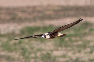 Lanner Falcon's Soar