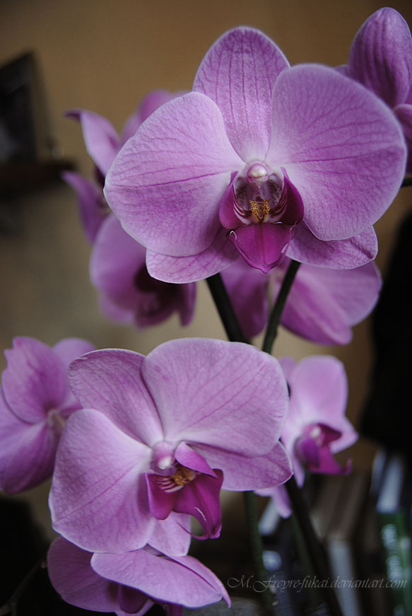 PHOTOGRAPHY- Phalaenopsis sp. by Fukai