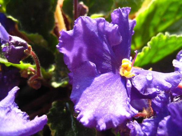 Violets by Denaliluna