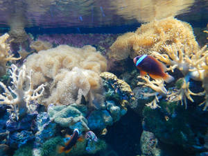 Clown Fish and Coral 02