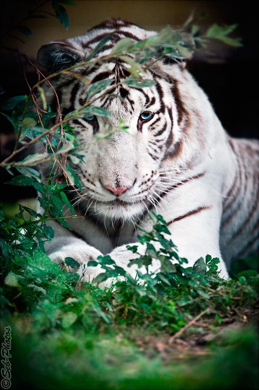 Hided white tiger is keeping an eye on me by Seb-Photos