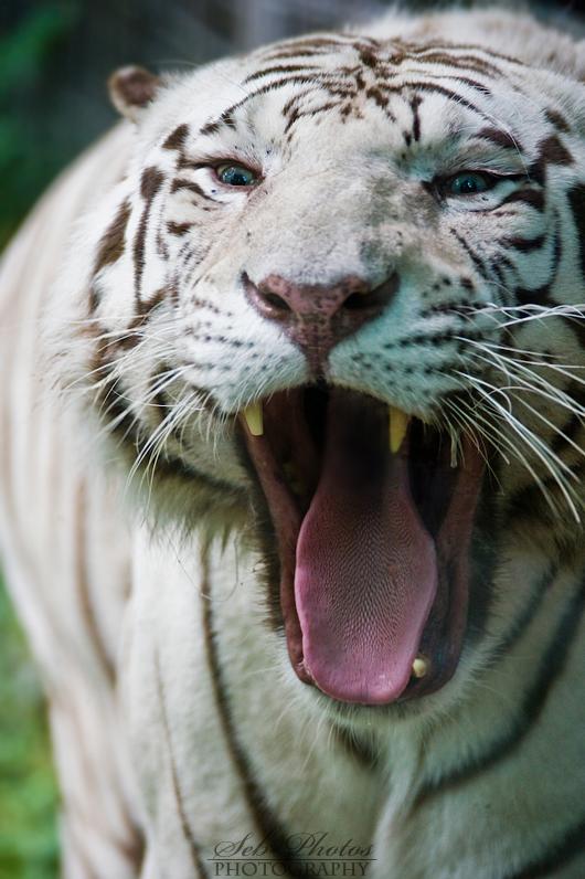 A big fat yawn! by Seb-Photos