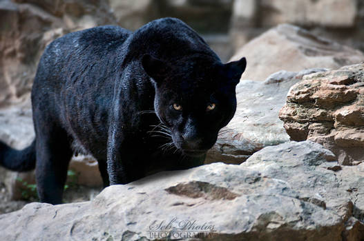 A black panther is focused on me...