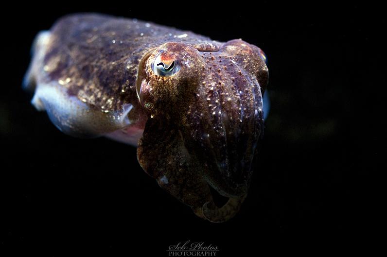 Cuttlefish by Seb-Photos