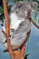 Koala ready for a nap! by Seb-Photos