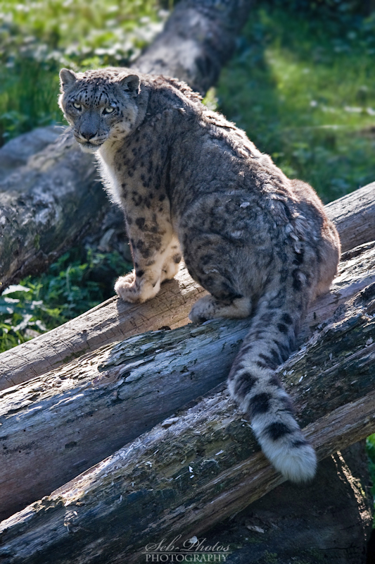 Snow leopard stares at me! by Seb-Photos