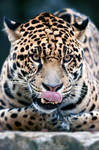 Jaguar found something appetizing! by Seb-Photos