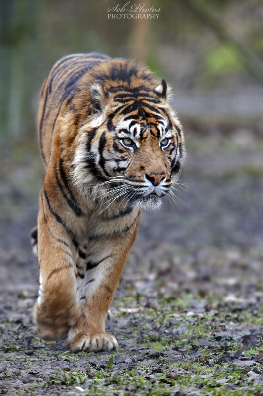 Magnificent tiger... by Seb-Photos