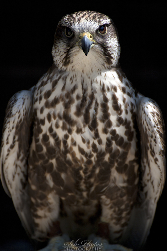 Saker falcon posing! by Seb-Photos