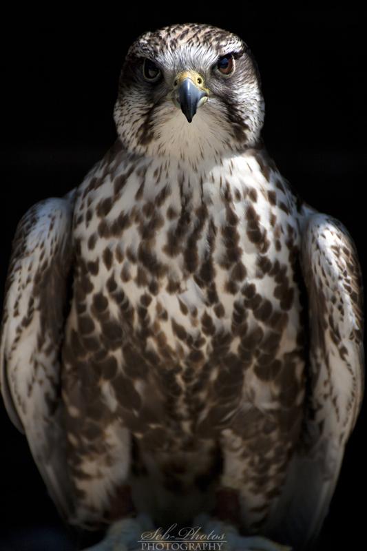 Saker falcon posing! by Seb-Photos