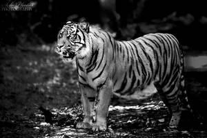 Strong tigress... by Seb-Photos