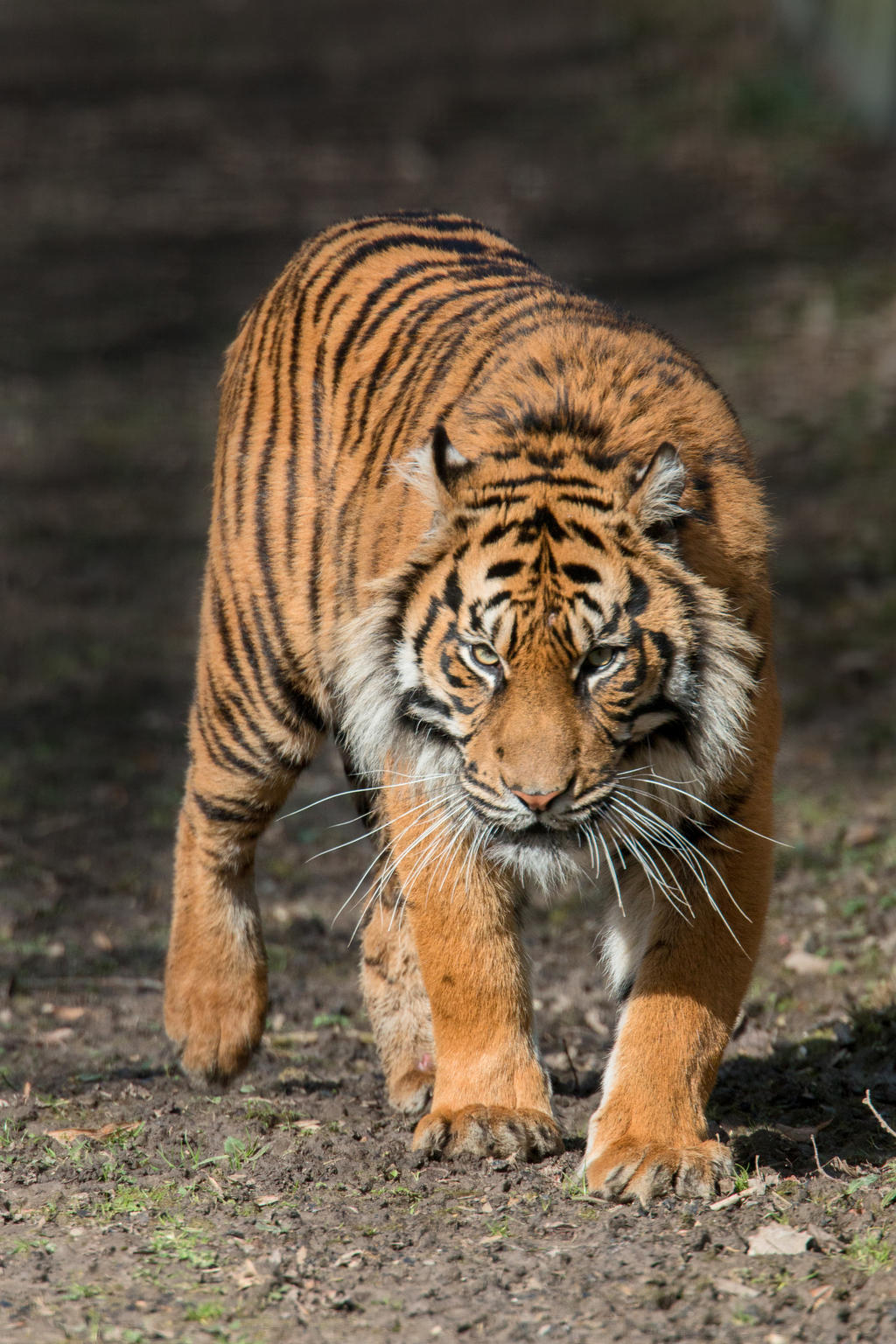stock] [hi-res] tiger #2seb-photos on deviantart