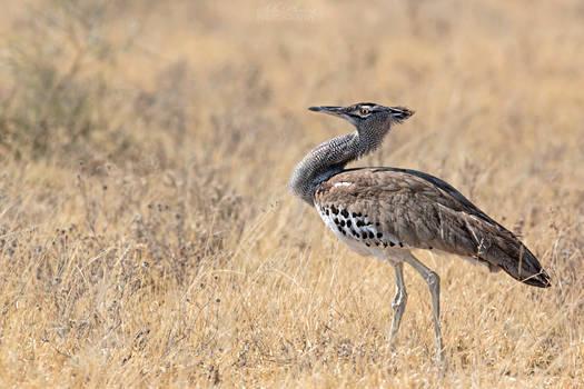 Botswana 2015 - Kori bustard