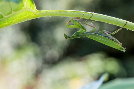 Upside down Praying Mantis