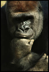 Gorilla Thoughts by FramedByNature