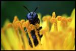 Bee Portraiture III by FramedByNature
