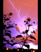 Sunflowers in the Storm by FramedByNature