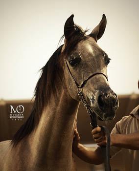 Horse Arabic