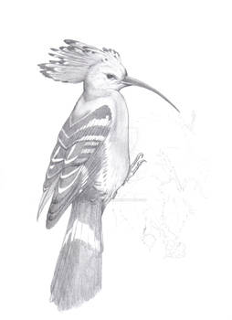 2001-653 haerfugl (upupa epops)