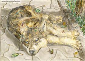 stray wolf pup by shygraywolf
