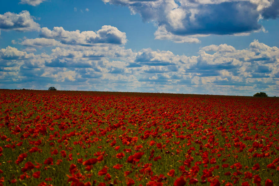 A Sea of Poppies by KiNzo81