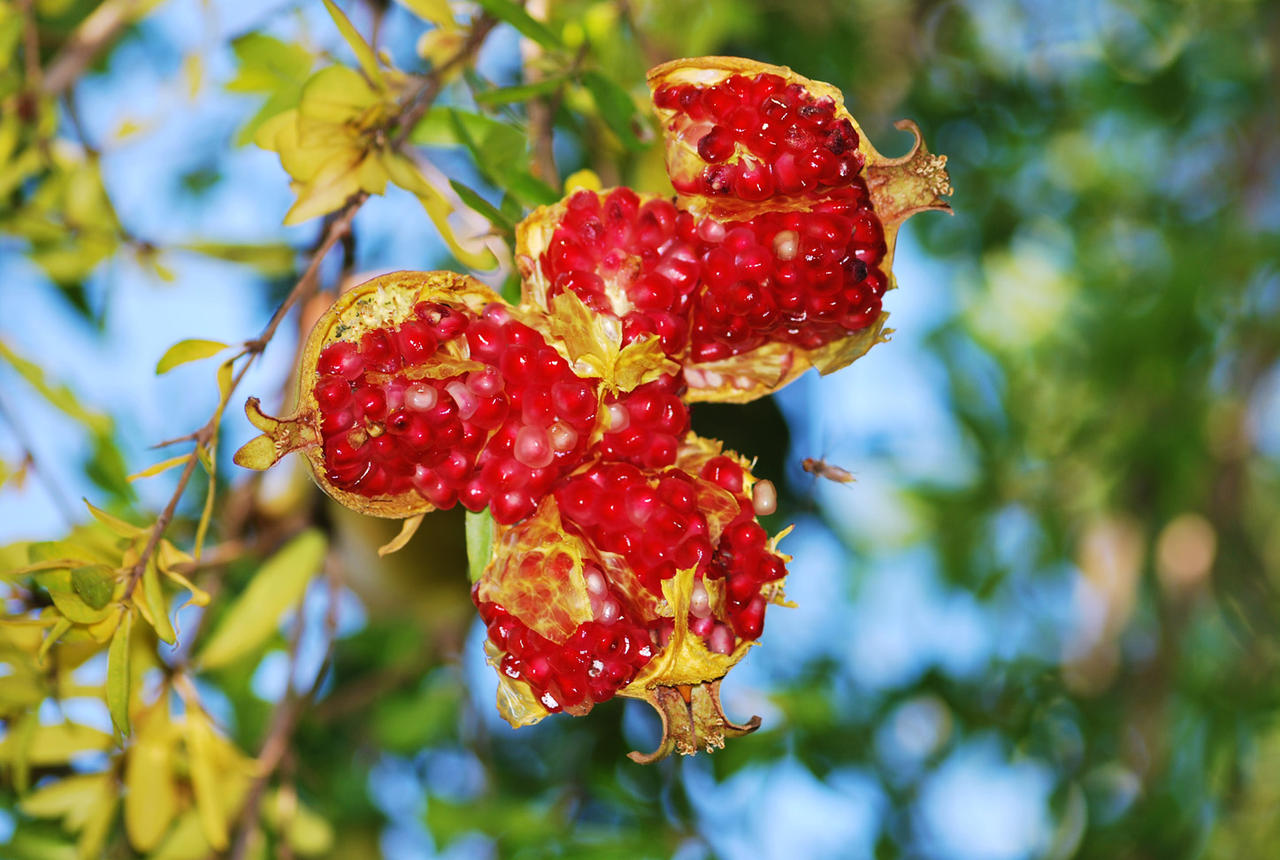 Pomegranade Passion