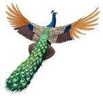 Indian Peafowl Flying