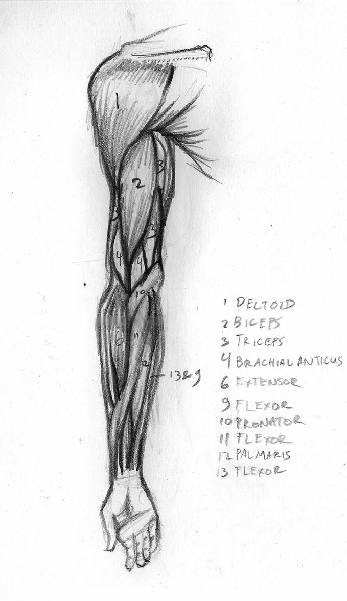 Arm Muscle, front view by feureau on DeviantArt