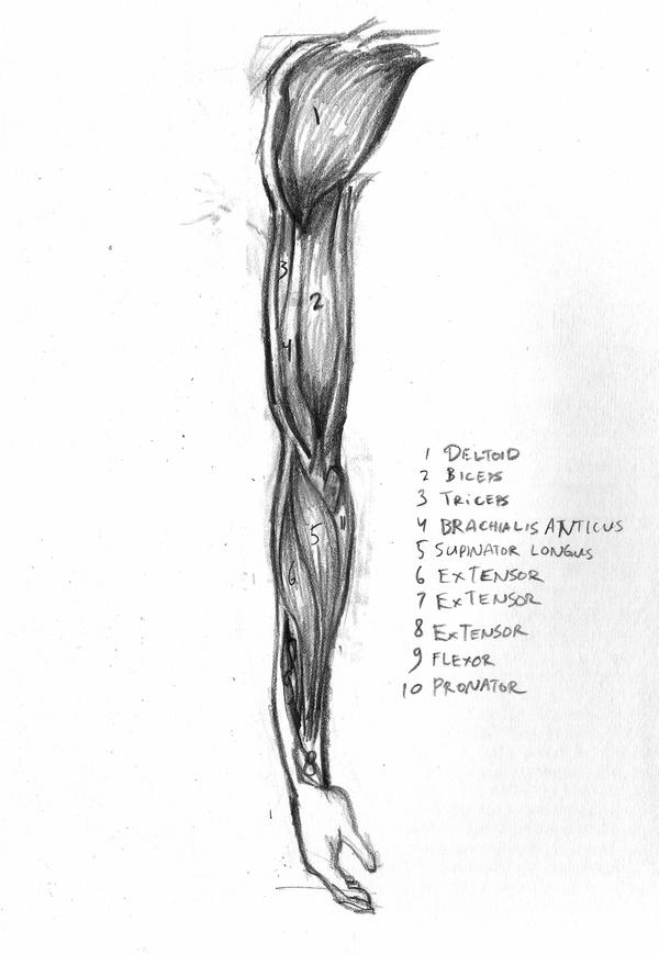 arm muscles drawing