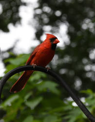 Cardinal 2 by kibbecat