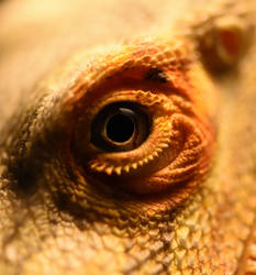 Bearded Dragon Eye