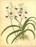 470px-R. Warner  B.S. Williams - The Orchid Album by Star-Squiddle