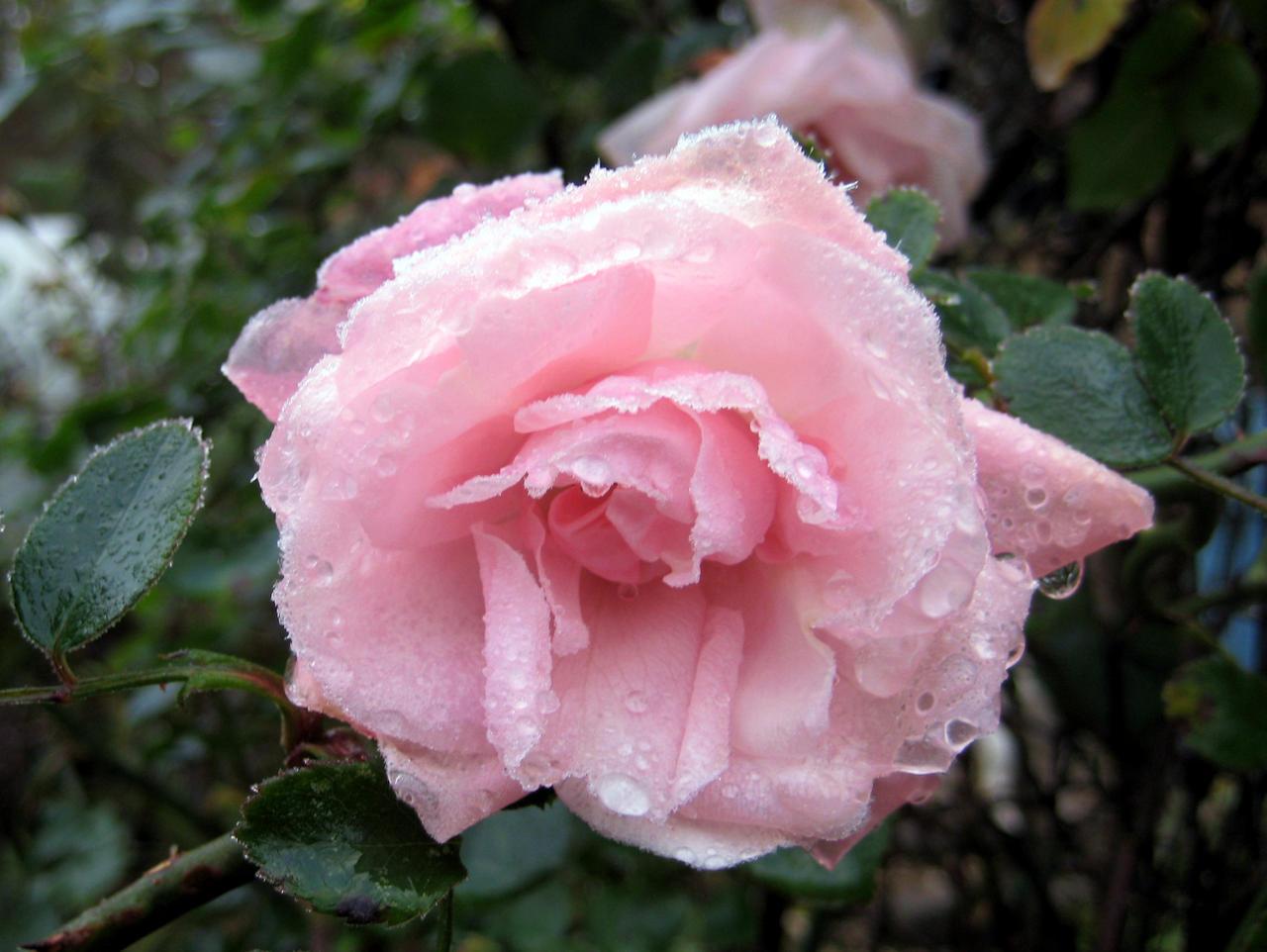 Frozen Rose by Akamasdiver