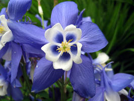 Blue and White Aquilegia by Akamasdiver