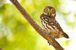 Furrugineus pigmy owl
