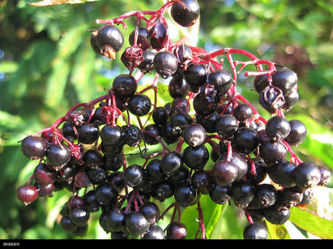 Berries Copy