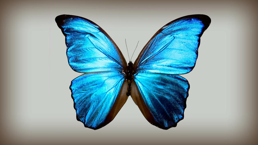 blue butterfly group - photo #19