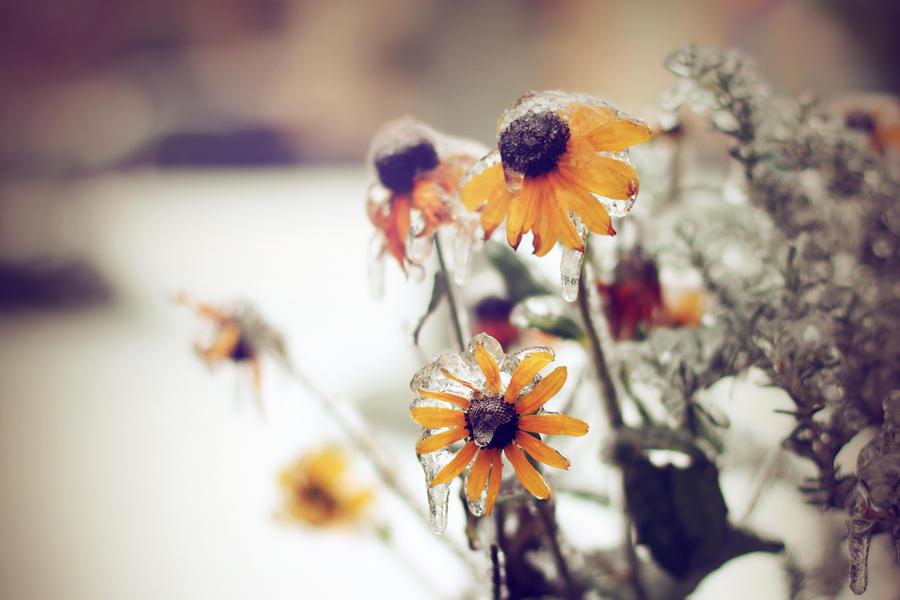 Frigid Flowers by Rana-Rocks