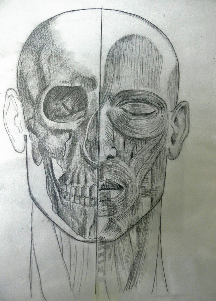 Human Face Muscles And Bones By Kat Astrophe Images On Deviantart