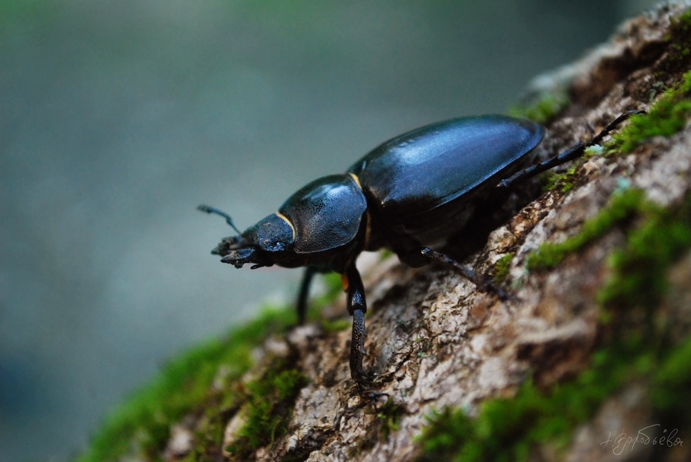 Beetle by silverwing-sparrow