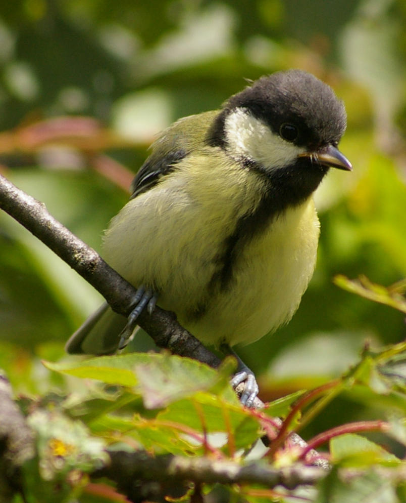 chickadee -STOCK- by wxphoto