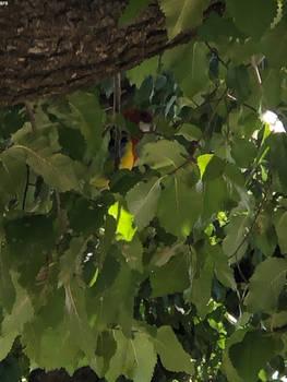 Australian Parakeet Zoomed In Fully